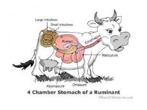 Herbivorous Strategies Cranial fermentors or ruminants have a