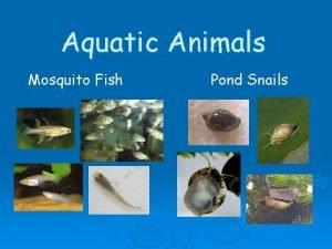 Aquatic Animals Mosquito Fish Pond Snails Aqua Aqua