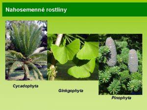 Nahosemenn rostliny Cycadophyta Ginkgophyta Pinophyta Nahosemenn rostliny deviny