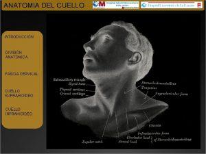 ANATOMIA DEL CUELLO INTRODUCCIN DIVISIN ANATMICA FASCIA CERVICAL