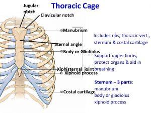 Jugular notch Thoracic Cage Clavicular notch Manubrium Includes