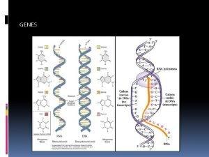GENES LOS GENES En cada porcin de un