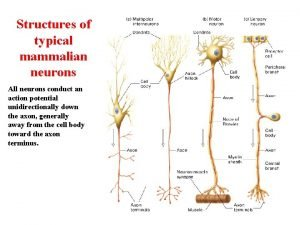 Structures of typical mammalian neurons All neurons conduct