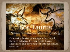 Bos Taurus Natural Selection vs Selective Breeding Comparing