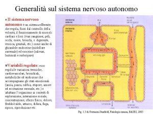 Generalit sul sistema nervoso autonomo Il sistema nervoso