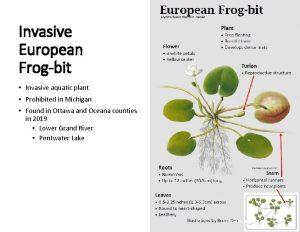 Invasive European Frogbit Invasive aquatic plant Prohibited in