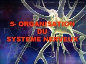 5 ORGANISATION DU SYSTEME NERVEUX SYSTEME NERVEUX Systme