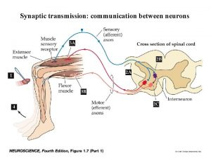 Synaptic transmission communication between neurons Two principal kinds
