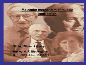 Molecular mechanism of muscle contraction Sliding Filament theory