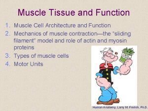 Muscle Tissue and Function 1 Muscle Cell Architecture