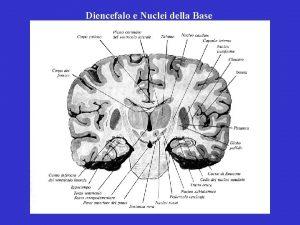 Diencefalo e Nuclei della Base Diencefalo Nuclei della