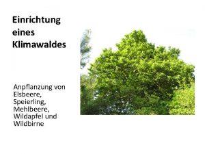 Einrichtung eines Klimawaldes Anpflanzung von Elsbeere Speierling Mehlbeere
