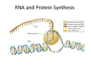 RNA and Protein Synthesis Protein Synthesis is the