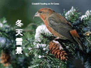 Crossbill Feeding on Fir Cones Chasing a Snack