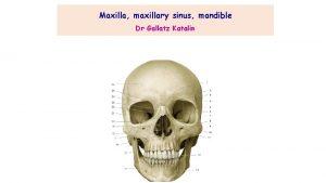 Maxilla maxillary sinus mandible Dr Gallatz Katalin Parts