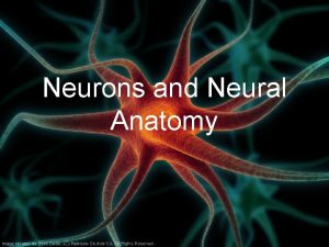 Neurons and Neural Anatomy Nervous System Central nervous