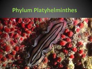 Phylum Platyhelminthes Phylum Platyhelminthes Pljosnati parenhimatini crvi Bilateralno