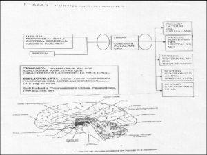 Cuerpos mamilares ncleo mamilar medio Ncleo lateral dorsal