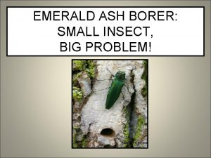 EMERALD ASH BORER SMALL INSECT BIG PROBLEM Photo