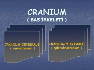 CRANIUM BA SKELET CRANIUM CEREBRALE neurocranium CRANIUM VISCERALE