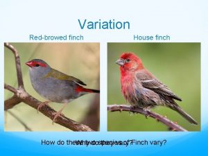 Variation Redbrowed finch House finch How do these