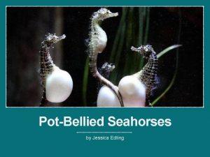 PotBellied Seahorses by Jessica Edling Hippocampus Abdominalis AKA