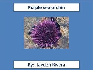 Purple sea urchin By Jayden Rivera Animal Facts