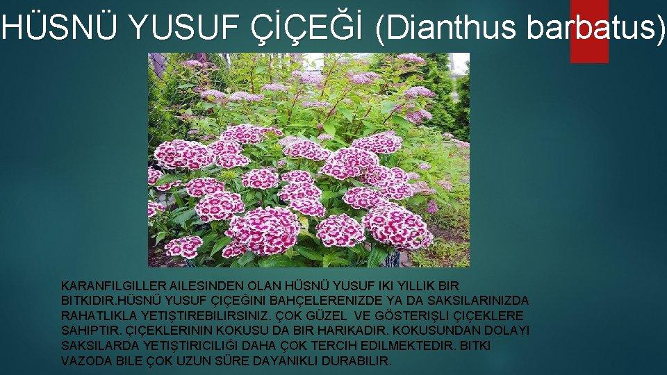 HSN YUSUF E Dianthus barbatus YUSUF E KARANFILGILLER