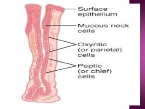 GASTRIC MUCOSAL BARRIER The gastric mucosal barrier is