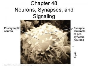 Chapter 48 Neurons Synapses and Signaling Information Processing