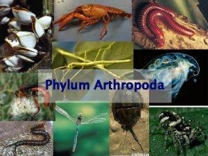 Phylum Arthropoda 1 Phylum Arthropoda jointed foot Largest