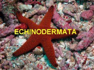 ECHINODERMATA Opte karakteristike bodljokoaca Vrlo heterogena grupa bentosnih
