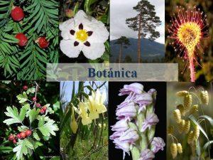 Botnica Juglandaceas Nogal Juglans regia rbol caducifolio 25