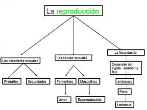 La reproduccin La fecundacin Los caracteres sexuales Primarios