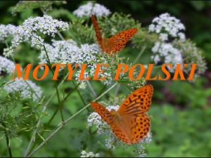 MOTYLE POLSKI Motyle stanowi pod wzgldem liczebnoci drug