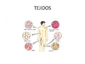 TEJIDOS TEJIDO En Biologa se llama tejidos a