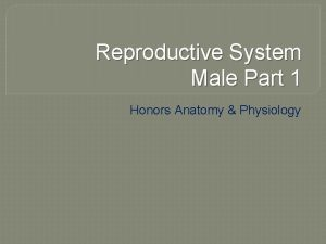Reproductive System Male Part 1 Honors Anatomy Physiology