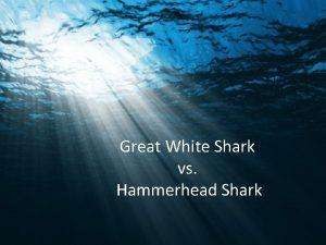 Great White Shark vs Hammerhead Shark Great White