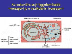 Az eukarita sejt legjelentsebb transzportja a vezikulris transzport