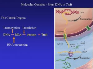 Molecular Genetics From DNA to Trait The Central