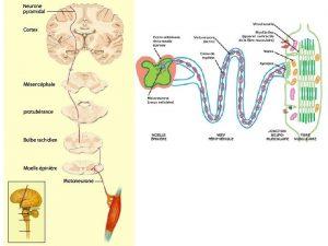 Maladies du neurone moteur Les maladies du neurone