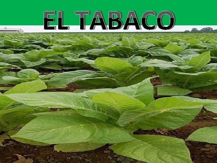 EL TABACO Qu es El tabaco es un