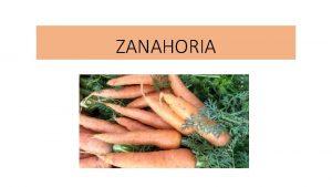 ZANAHORIA Origen La zanahoria es una especie originaria