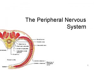 The Peripheral Nervous System 1 Peripheral Nervous System