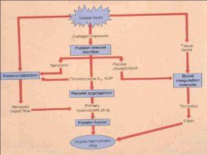 HEMOSTASE Fase vascular vasoconstrio Fase plaquetria formao do