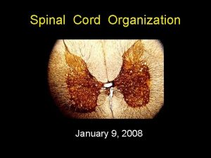 Spinal Cord Organization January 9 2008 Spinal Cord