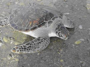 HISTORY OF SEA TURTLE POPULATIONS IN THE SULTANATE