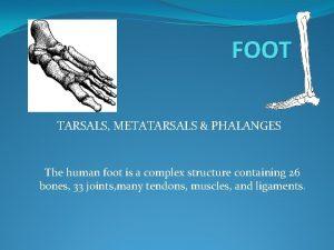 FOOT TARSALS METATARSALS PHALANGES The human foot is