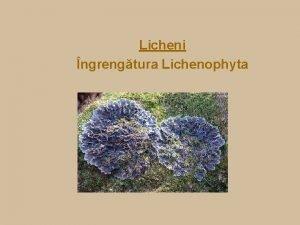 Licheni ngrengtura Lichenophyta Licheni Definiie Lichenii reprezint simbioza