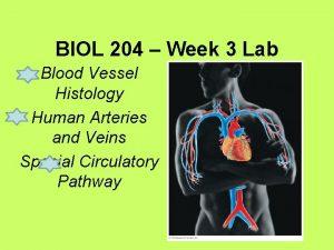 BIOL 204 Week 3 Lab Blood Vessel Histology